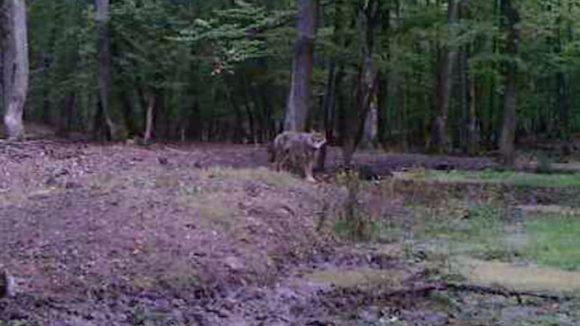 Na juhu Slovenska sa objavil nový predátor